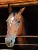 Pferd, das aus einem Strömungsabriß heraus schaut Stockfotografie