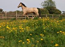 Pferd, das in Butterblumeen trottet Stockfoto