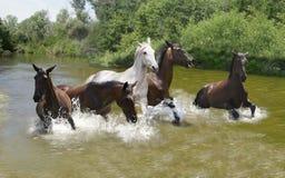 Pferd, das in das Wasser läuft Stockfoto