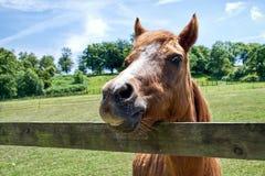Pferd, das an der Kamera lächelt Stockbild