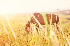 Pferd, das in der sonnigen Weide weiden lässt Stockfotografie