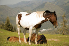 Pferd, das in der Wiese weiden lässt Stockbilder