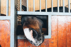 Pferd, das durch Öffnung im Stall schaut Stockfotografie