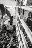 Pferd, das durch ein Tor in einer Scheune isst Stockbilder