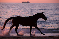 Pferd, das durch Wasser läuft Stockbilder