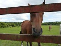 Pferd, das durch Zaun schaut Stockbilder