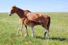 Pferd, das ein Fohlen auf der Wiese speist Lizenzfreie Stockfotografie