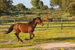 Pferd, das in ein grünes Feld läuft Stockbild