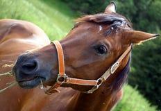 Pferd, das ein Gras isst Lizenzfreies Stockbild