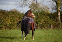 Pferd, das eine Wolldecke im Freien trägt Stockfoto