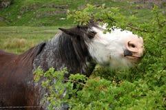 Pferd, das einen Busch isst Stockbilder