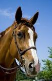 Pferd, das einen Zaum trägt Lizenzfreies Stockfoto