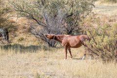 Pferd, das in einer Herbstwiese lacht stockbild