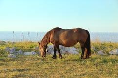 Pferd, das in einer Wiese weiden lässt Stockbild