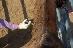 Pferd, das Einspritzung empfängt Stockbilder