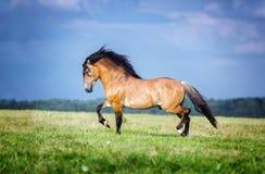 Pferd, das frei auf der Weide läuft lizenzfreie stockfotografie