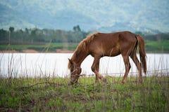 Pferd, das Gras auf dem Feld isst Thailand Lizenzfreies Stockfoto