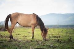 Pferd, das Gras auf dem Feld isst Thailand Lizenzfreie Stockfotos