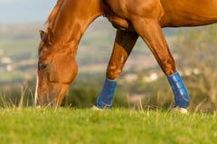 Pferd, das Gras auf dem Gebiet isst stockfotos