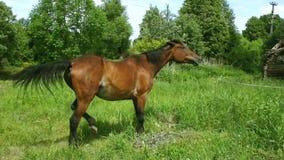 Pferd, das Gras auf Wiese weiden lässt stock footage