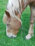 Pferd, das Gras in einer Wiese isst Stockbild
