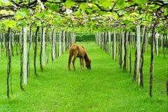 Pferd, das Gras im Weinberg isst Stockfoto