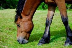 Pferd, das Gras isst Stockfoto