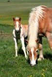 Pferd, das Gras und Fohlen isst Stockfotografie