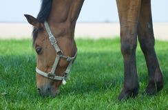 Pferd, das Gras weiden lässt Stockfotografie