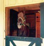 Pferd, das heraus seine Zunge haftet Stockfoto