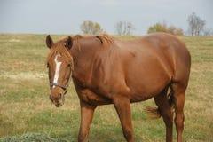 Pferd, das Heu auf dem Gebiet isst lizenzfreie stockbilder