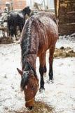 Pferd, das Heu im Schnee isst lizenzfreie stockbilder