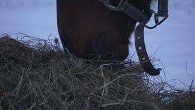 Pferd, das Heu im Winter isst stock footage