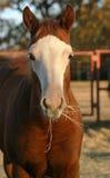 Pferd, das Heu isst Stockbild