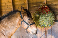 Pferd, das Heu isst Lizenzfreie Stockfotos