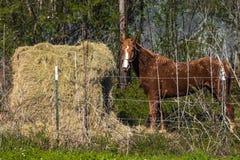 Pferd, das Heu in Ost isst Pferdeartig, Tier lizenzfreies stockbild