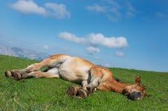 Pferd, das im Gras liegt Lizenzfreie Stockbilder