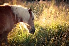 Pferd, das im hohen Gras während der goldenen Stunde im August weiden lässt Lizenzfreie Stockfotografie