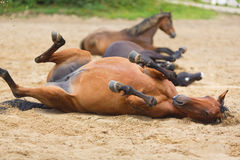 Pferd, das im Sand liegt Stockbilder
