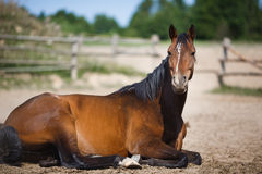 Pferd, das im Stall im Freien liegt Stockbild