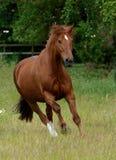 Pferd, das in Koppel langsam galoppiert Stockfotos