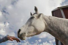 Pferd, das menschliche Hand mit den Augen geschlossen riecht Lizenzfreies Stockfoto