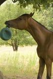 Pferd, das mit Kugel spielt Lizenzfreies Stockfoto