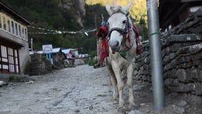 Pferd, das nahe der Straße auf der Annapurna-Wanderung steht stock footage
