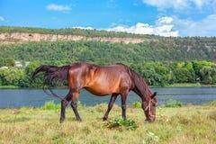 Pferd, das nahe Fluss weiden lässt Stockfoto