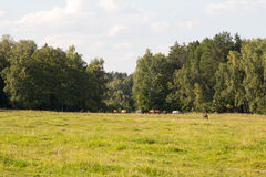 Pferd, das am Rand des Holzes weiden lässt Lizenzfreie Stockfotografie