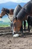 Pferd, das Salz leckt Stockbilder