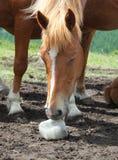 Pferd, das Salz leckt Stockfotos