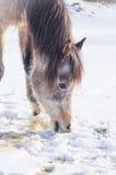 Pferd, das Schnee im Winter isst Lizenzfreies Stockfoto