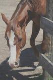 Pferd, das seinen Kopf um einen Zaun stößt Stockbild